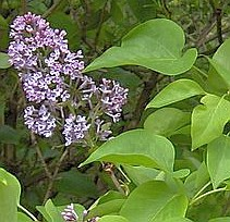wikipedia flieder lila